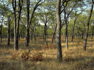 1200px-Cathedral_mopane_forest_-_South_Luangwa_Valley