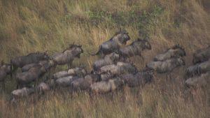 487859512-parco-nazionale-di-liuwa-plain-delta-dello-zambesi-branco-di-gazzelle-gnu