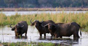 buffalo-big-five-lower-zambezi