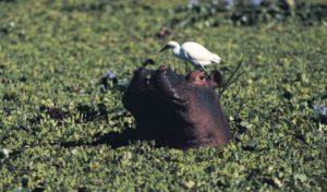 hippopotamus-Zambezi-River